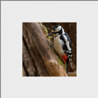 Greater Spotted Wood Pecker Mounted Print FB_07_MM